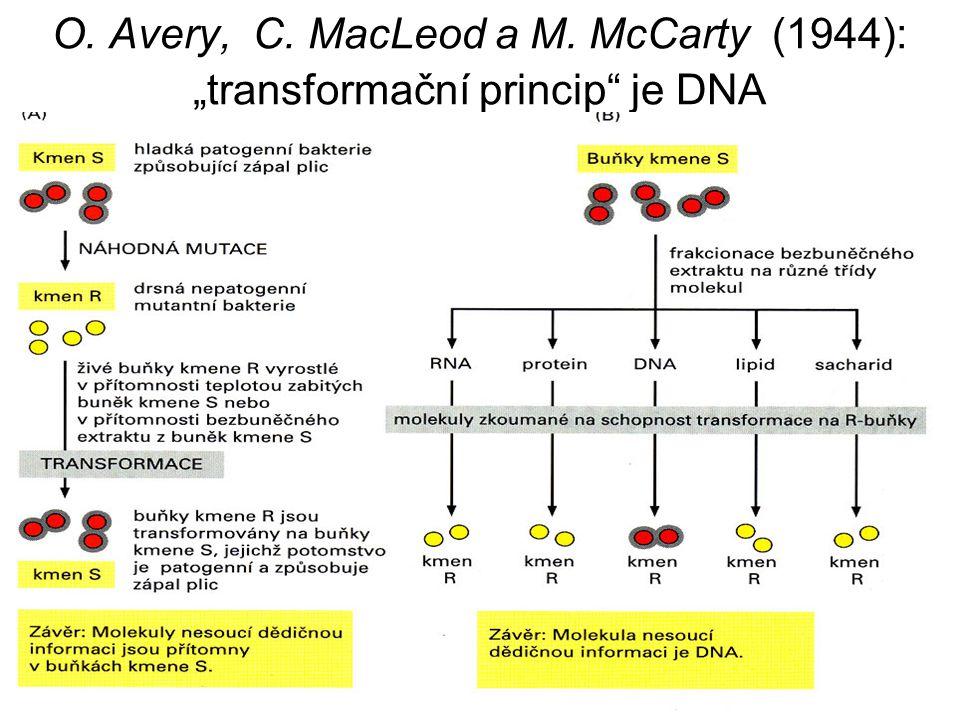 """O. Avery, C. MacLeod a M. McCarty (1944): """"transformační princip je DNA virulentních"""