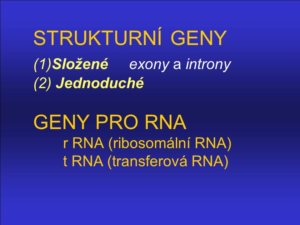STRUKTURNÍ GENY. (1)Složené exony a introny. (2) Jednoduché