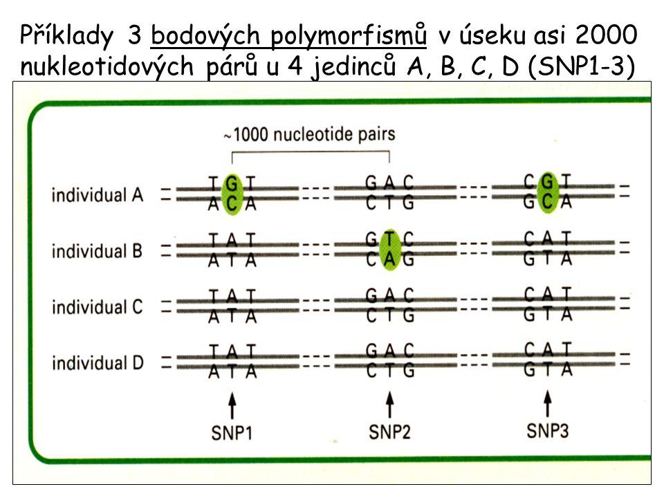 Příklady 3 bodových polymorfismů v úseku asi 2000 nukleotidových párů u 4 jedinců A, B, C, D (SNP1-3)