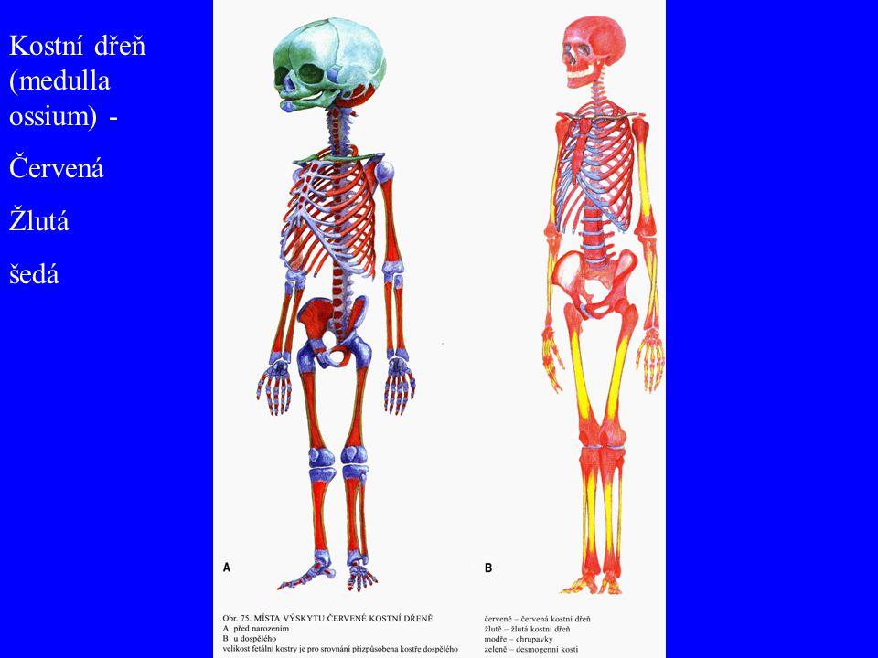 Kostní dřeň (medulla ossium) -