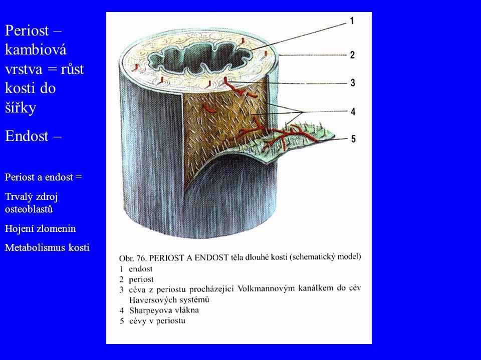 Periost – kambiová vrstva = růst kosti do šířky