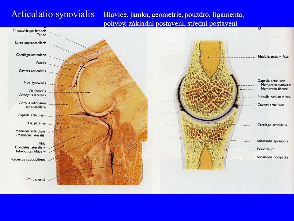 Articulatio synovialis