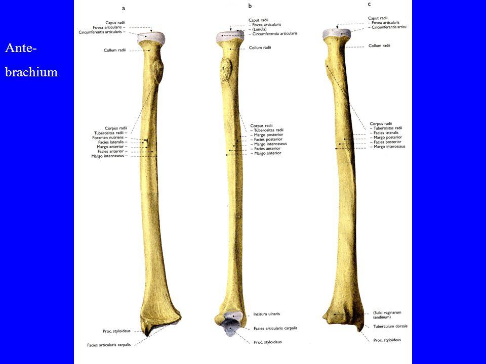 Ante- brachium