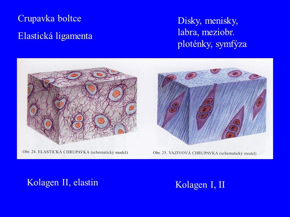 Crupavka boltce Elastická ligamenta. Disky, menisky, labra, meziobr. ploténky, symfýza. Kolagen II, elastin.