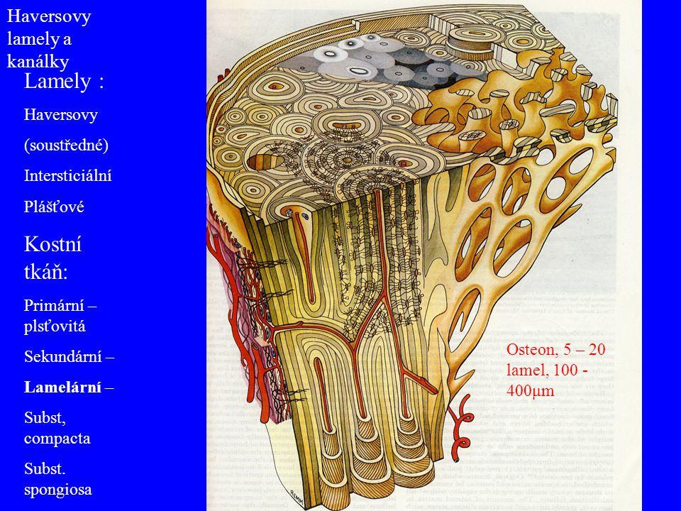 Lamely : Kostní tkáň: Haversovy lamely a kanálky Haversovy