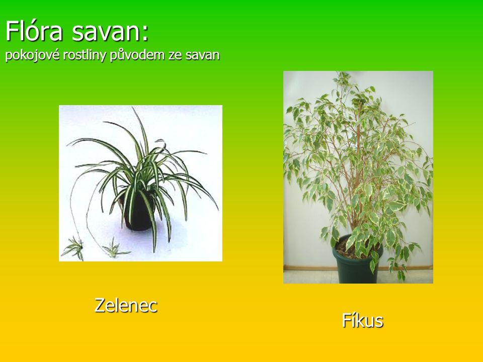 Flóra savan: pokojové rostliny původem ze savan