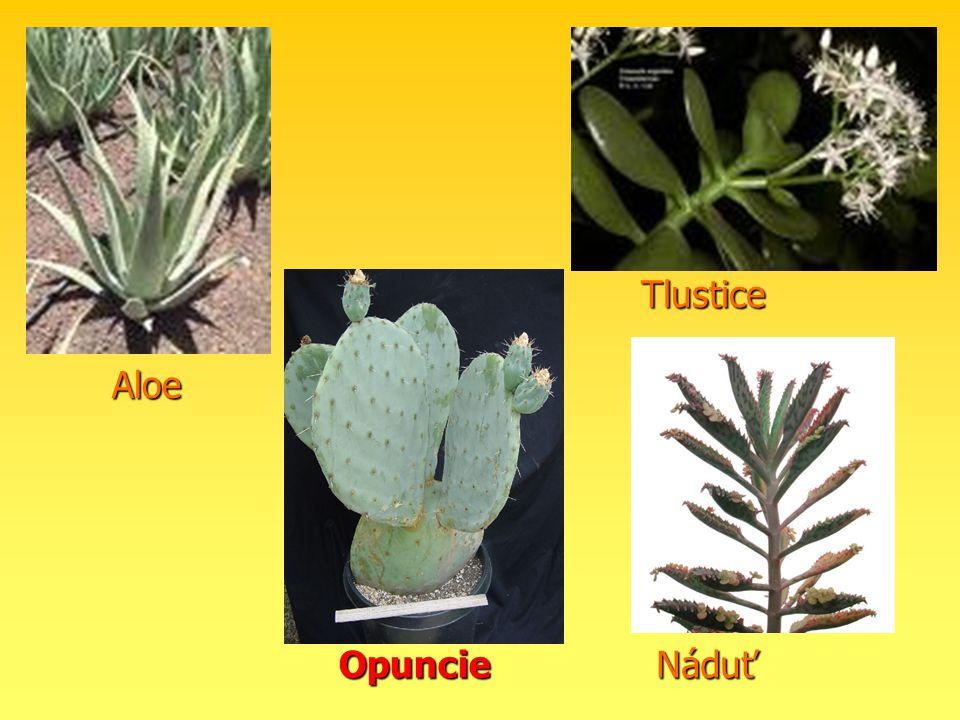 Tlustice Aloe Opuncie Náduť