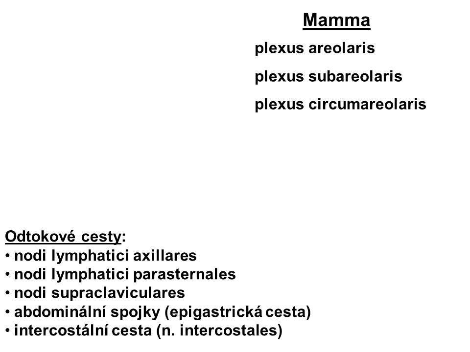 Mamma plexus areolaris plexus subareolaris plexus circumareolaris