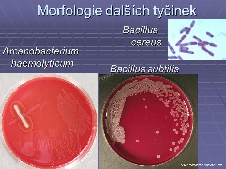 Morfologie dalších tyčinek