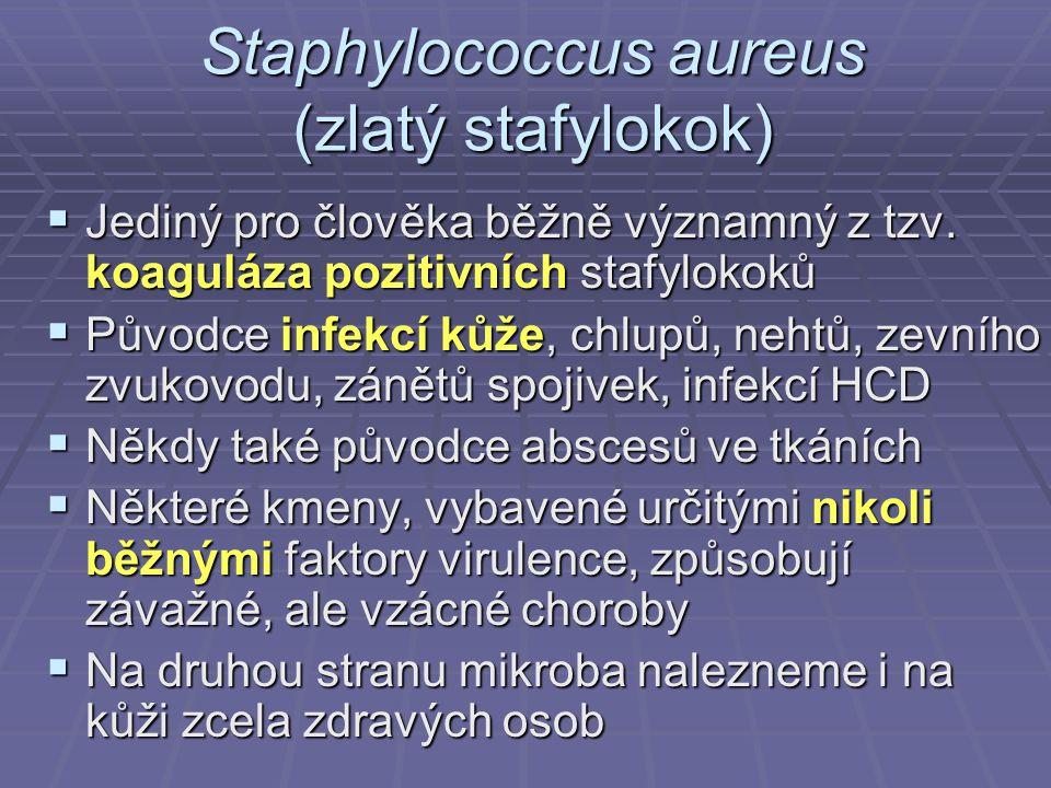 Staphylococcus aureus (zlatý stafylokok)