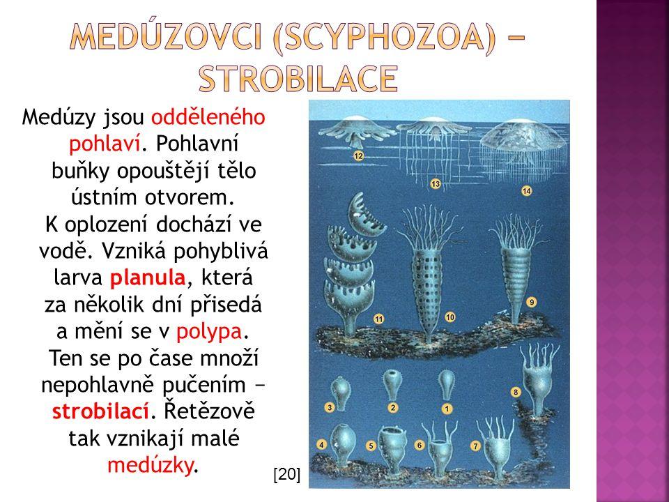 medúzovci (Scyphozoa) − strobilace