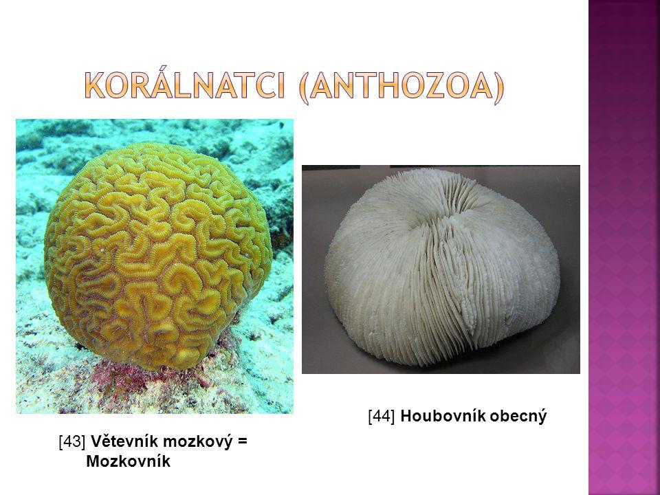 korálnatci (Anthozoa)