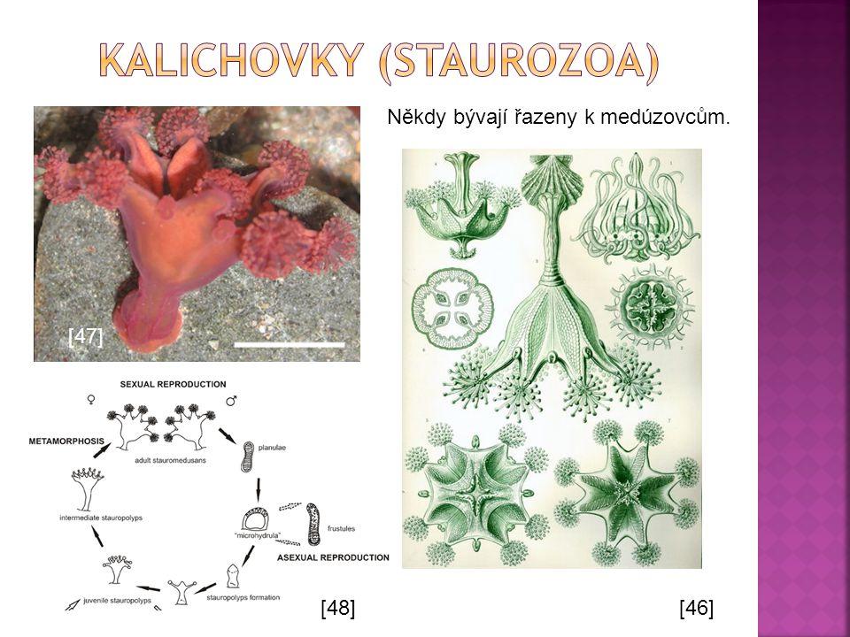 kalichovky (Staurozoa)