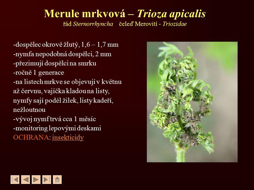 Merule mrkvová – Trioza apicalis řád Sternorrhyncha čeleď Merovití - Triozidae