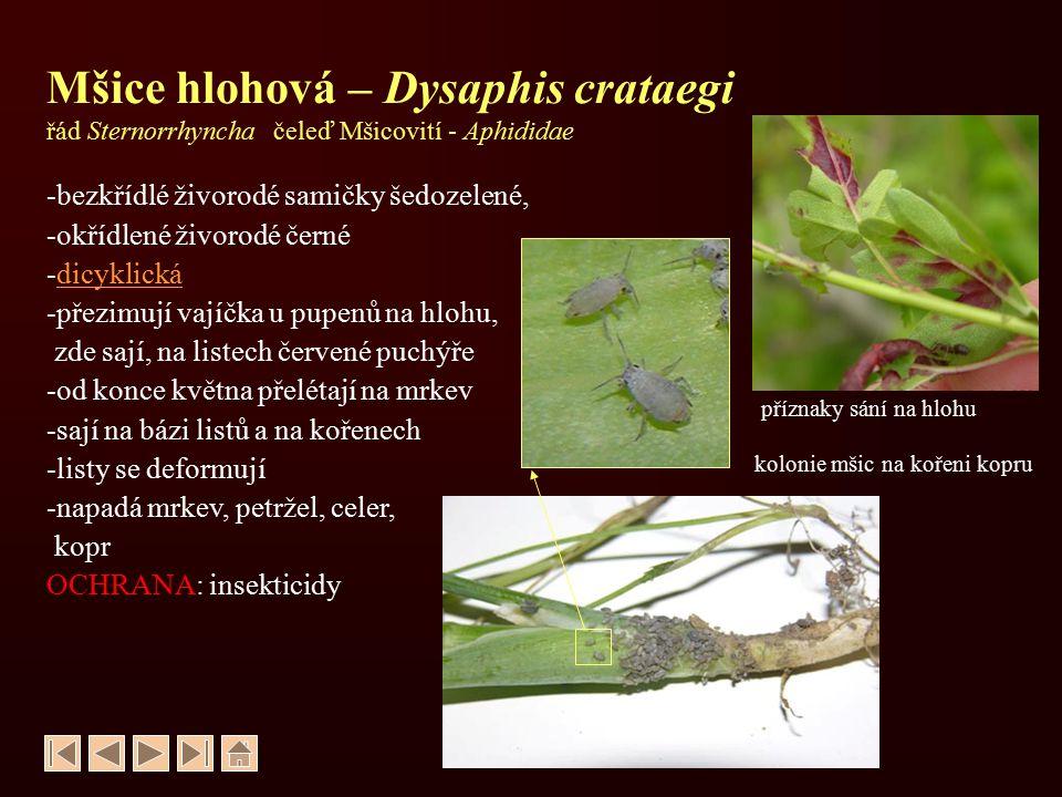 Mšice hlohová – Dysaphis crataegi řád Sternorrhyncha čeleď Mšicovití - Aphididae
