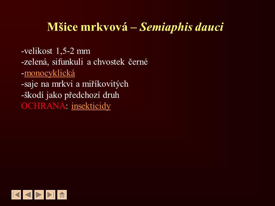Mšice mrkvová – Semiaphis dauci
