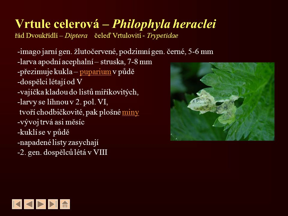 Vrtule celerová – Philophyla heraclei řád Dvoukřídlí – Diptera čeleď Vrtulovití - Trypetidae