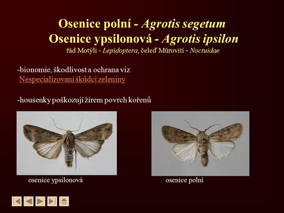 Osenice polní - Agrotis segetum Osenice ypsilonová - Agrotis ipsilon řád Motýli - Lepidoptera, čeleď Můrovití - Noctuidae