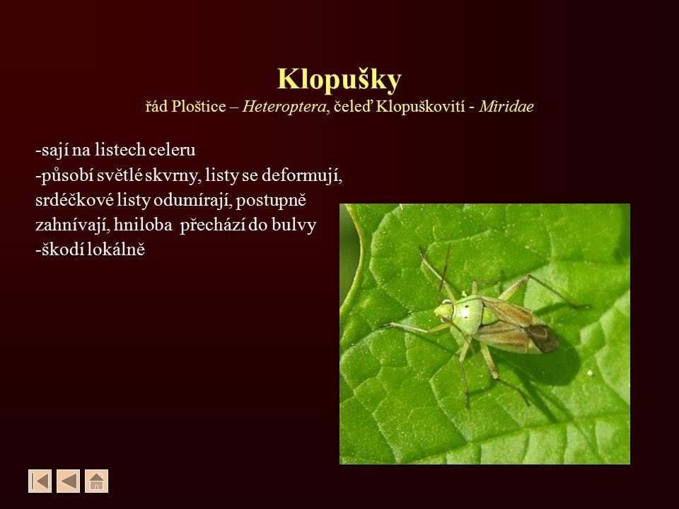Klopušky řád Ploštice – Heteroptera, čeleď Klopuškovití - Miridae