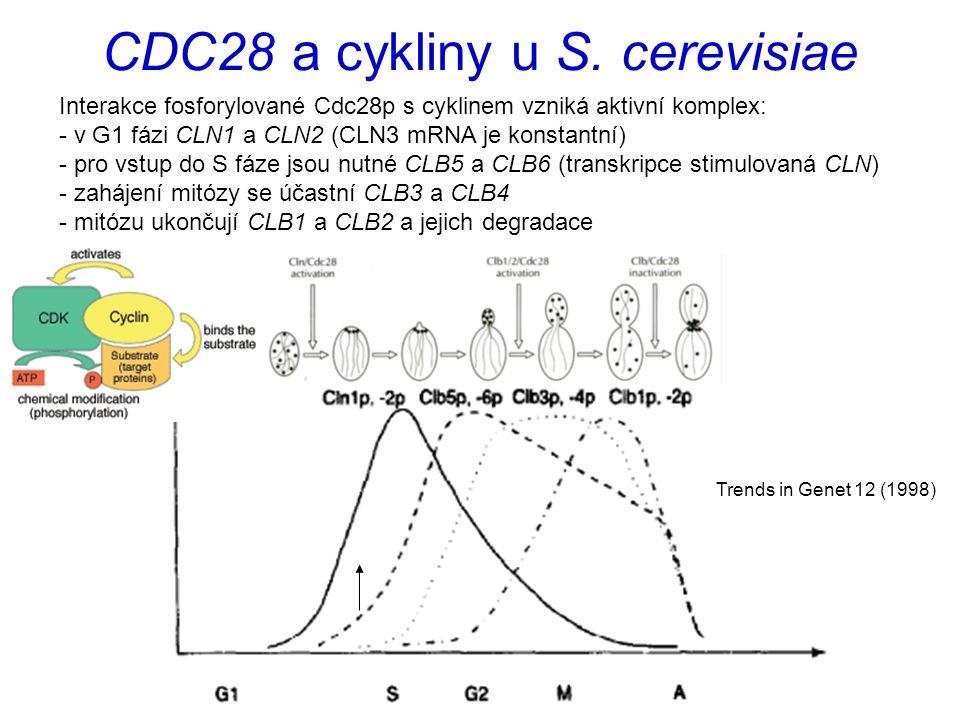 CDC28 a cykliny u S. cerevisiae