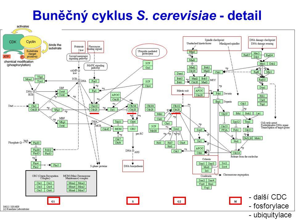 Buněčný cyklus S. cerevisiae - detail