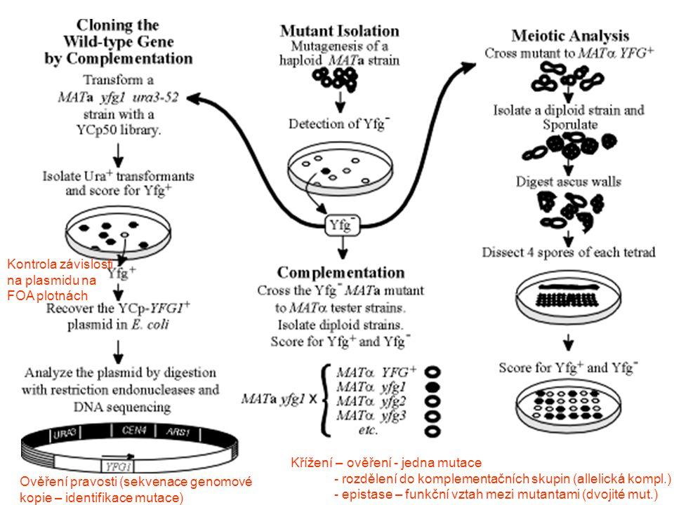 Kontrola závislosti na plasmidu na FOA plotnách