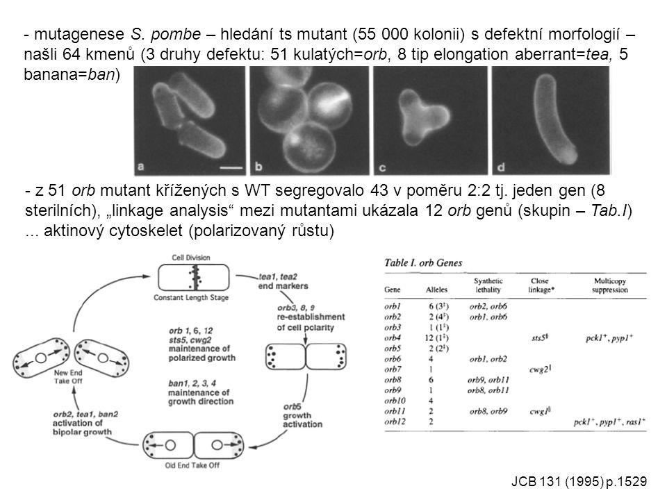 ... aktinový cytoskelet (polarizovaný růstu)