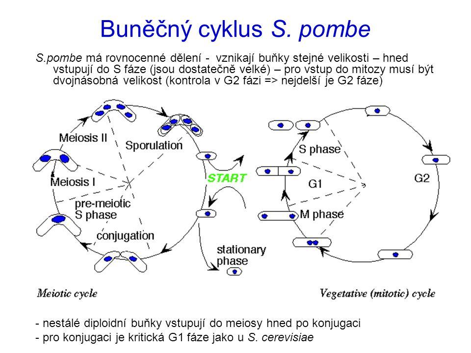 Buněčný cyklus S. pombe