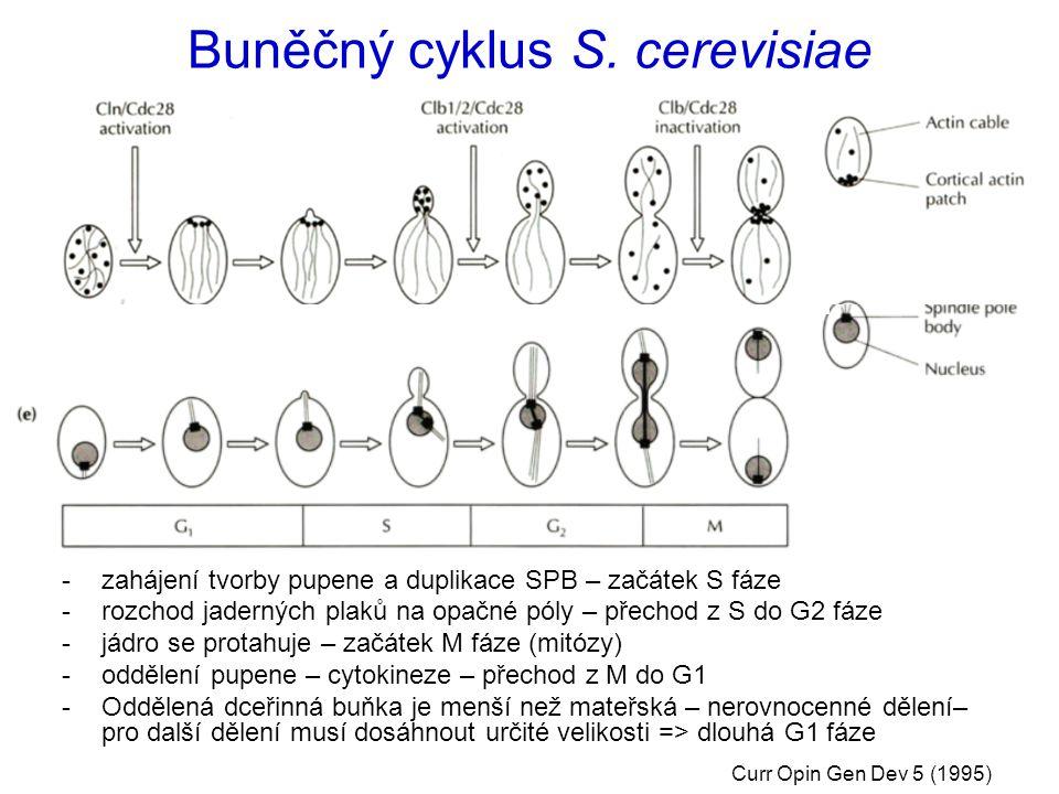 Buněčný cyklus S. cerevisiae