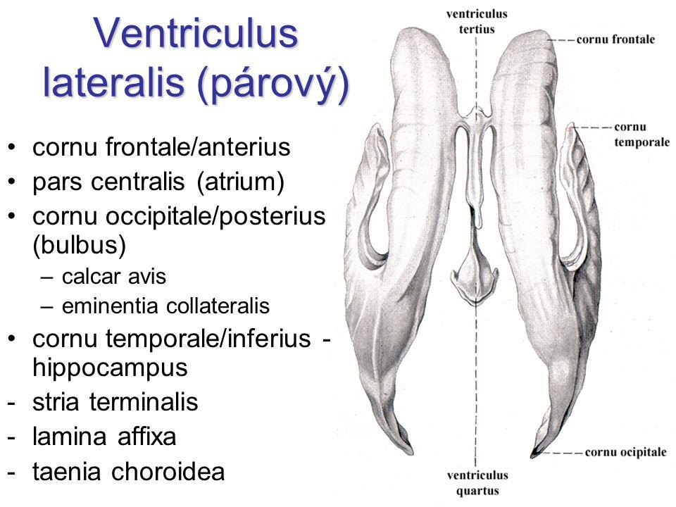 Ventriculus lateralis (párový)