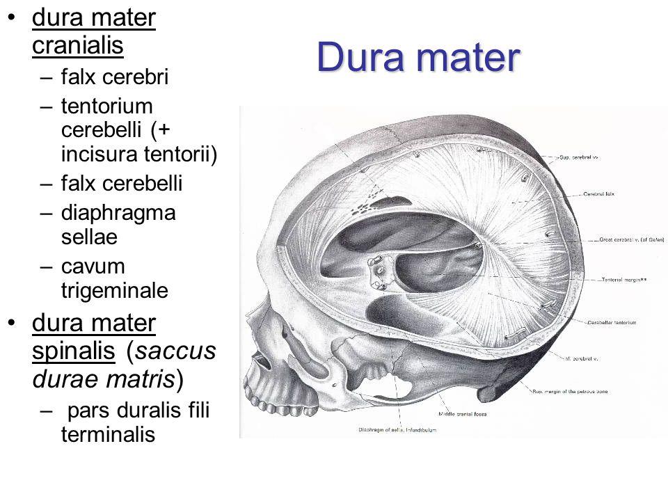Dura mater dura mater cranialis