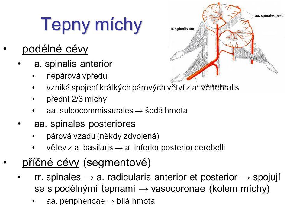 Tepny míchy podélné cévy příčné cévy (segmentové) a. spinalis anterior
