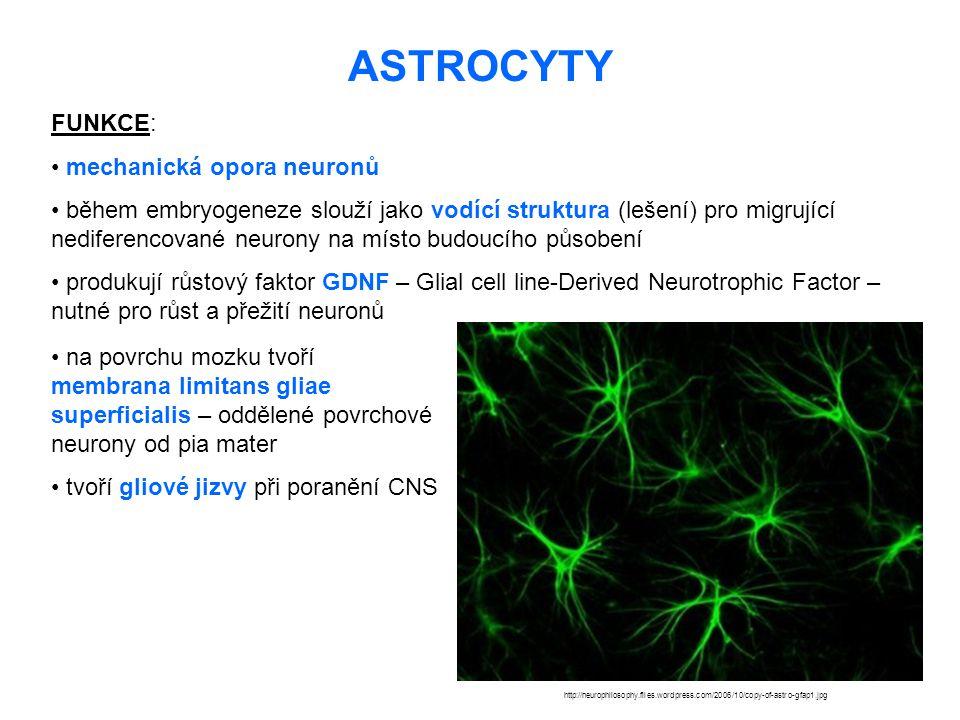 ASTROCYTY FUNKCE: mechanická opora neuronů