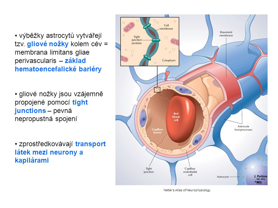 zprostředkovávají transport látek mezi neurony a kapilárami