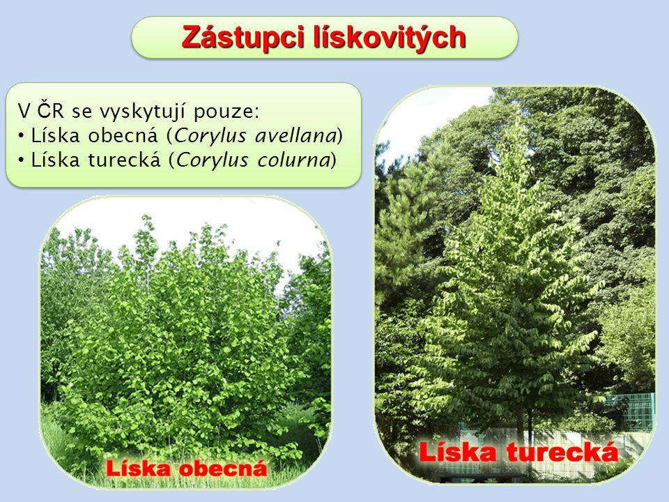 Zástupci lískovitých V ČR se vyskytují pouze: