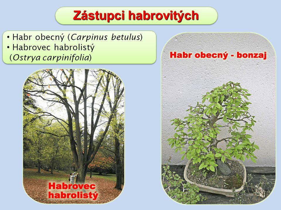 Zástupci habrovitých Habr obecný (Carpinus betulus)