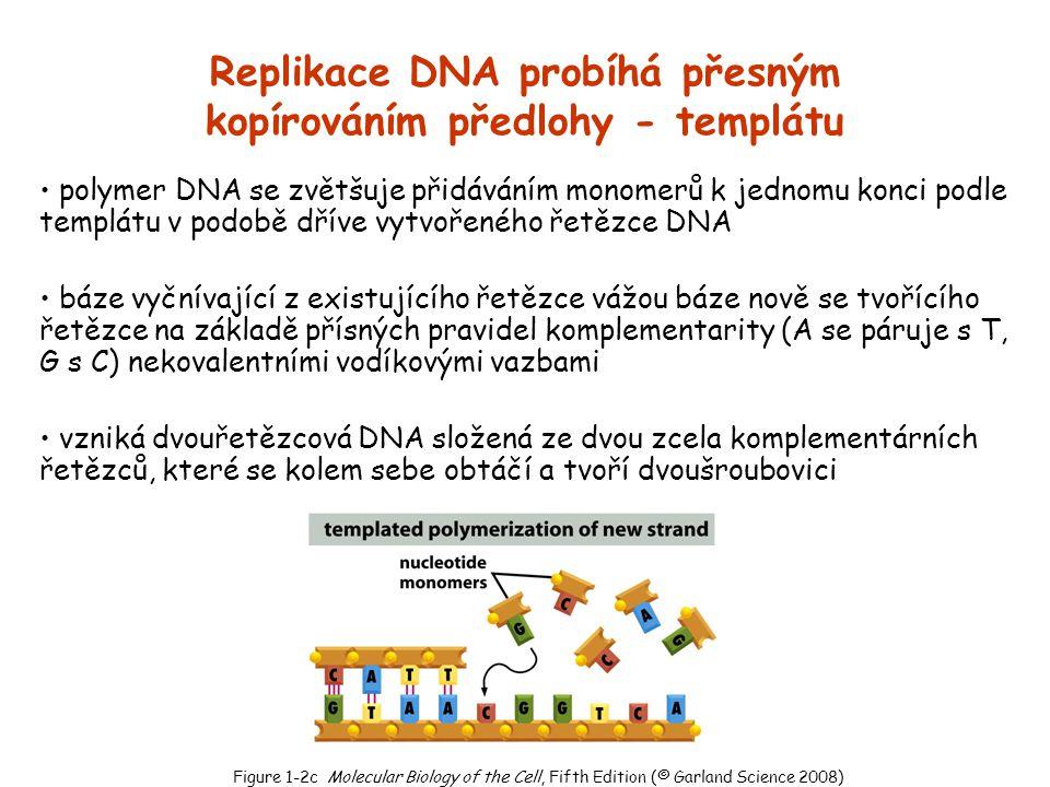Replikace DNA probíhá přesným kopírováním předlohy - templátu
