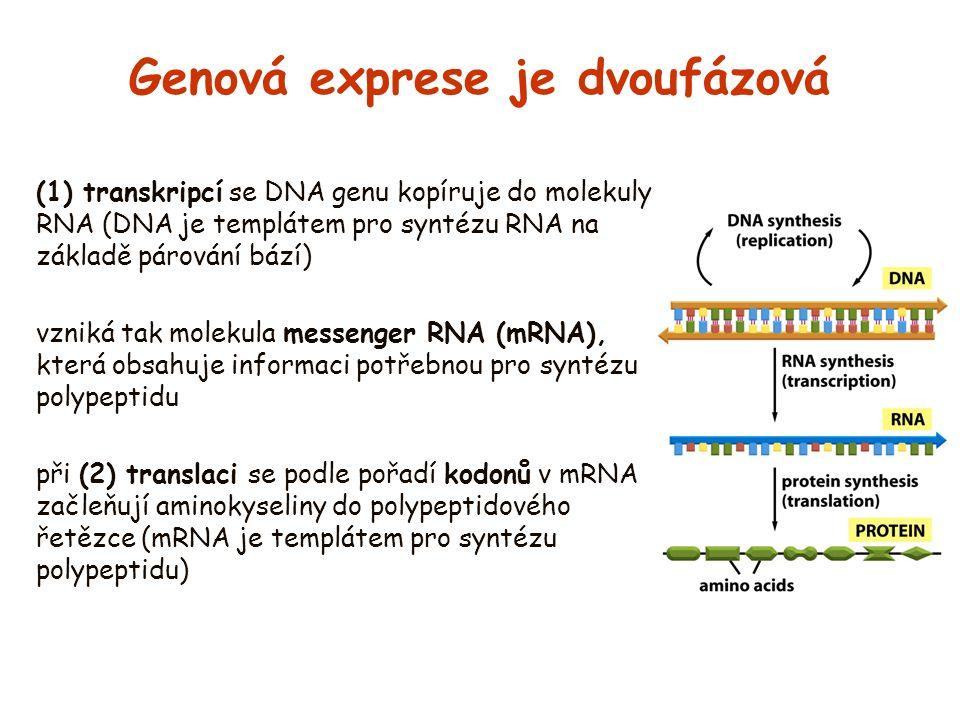 Genová exprese je dvoufázová