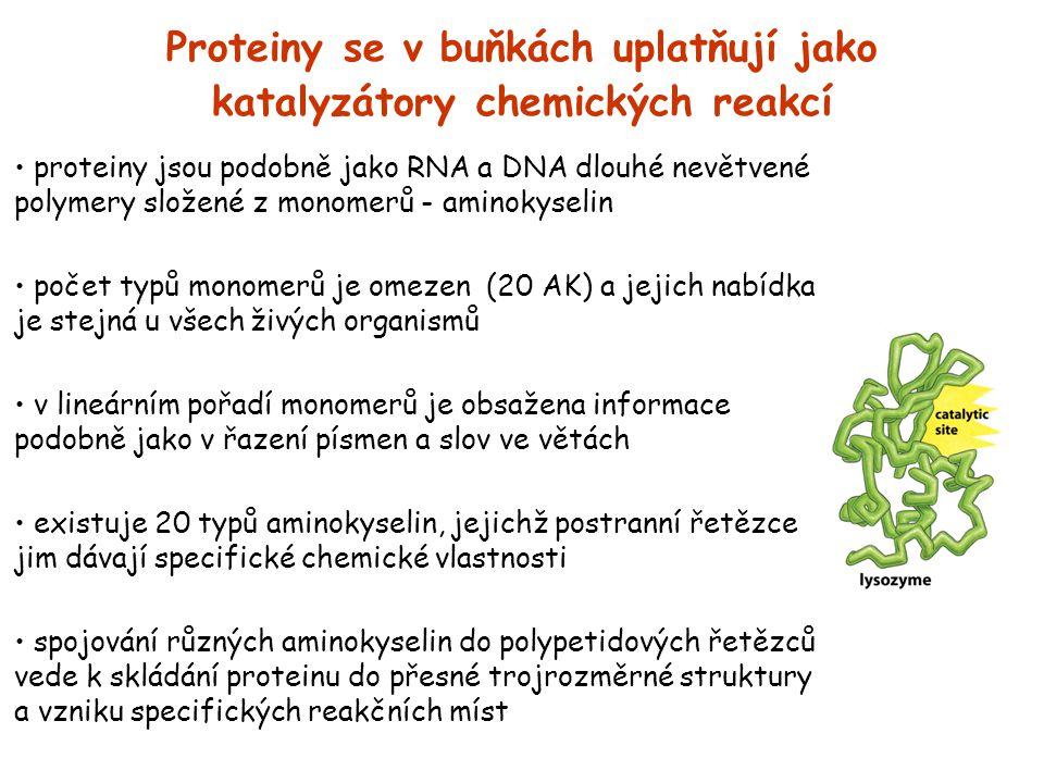 Proteiny se v buňkách uplatňují jako katalyzátory chemických reakcí