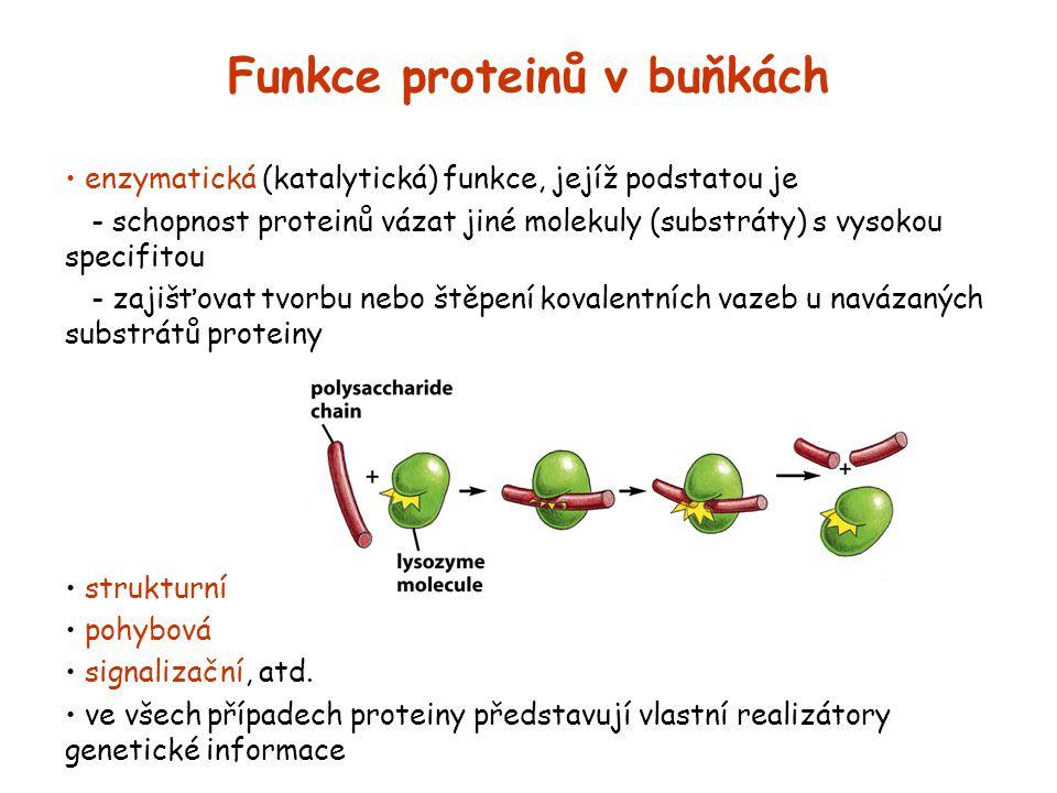 Funkce proteinů v buňkách