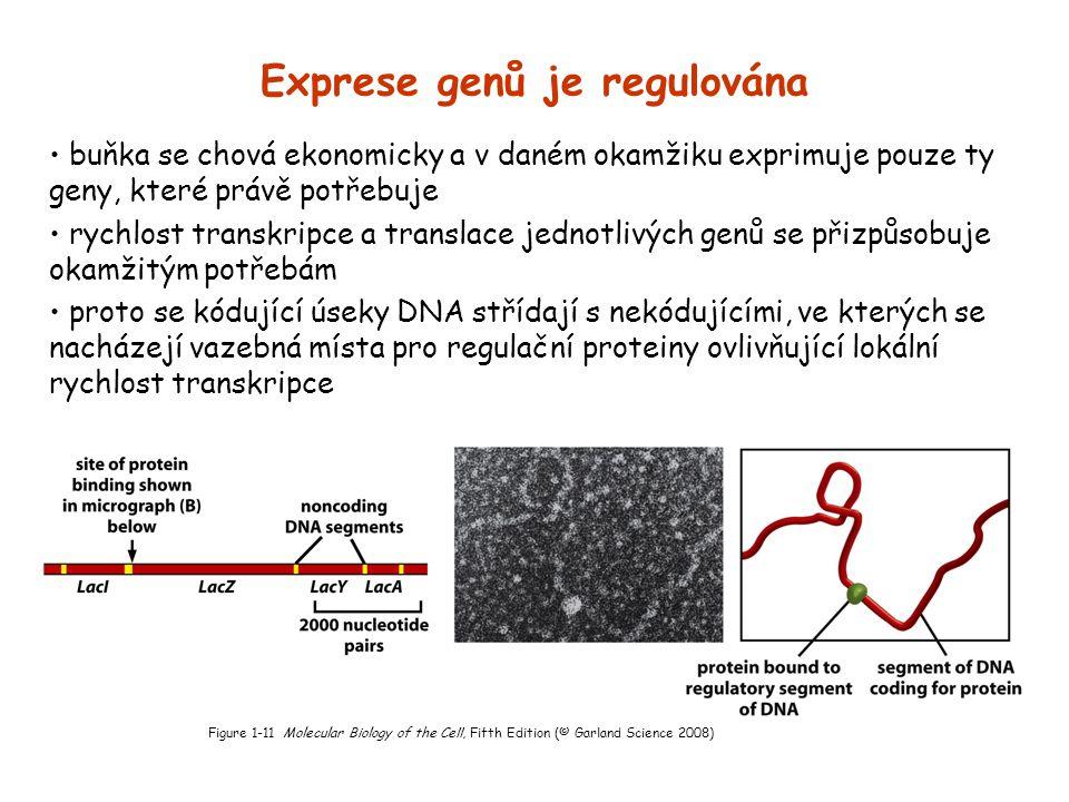 Exprese genů je regulována