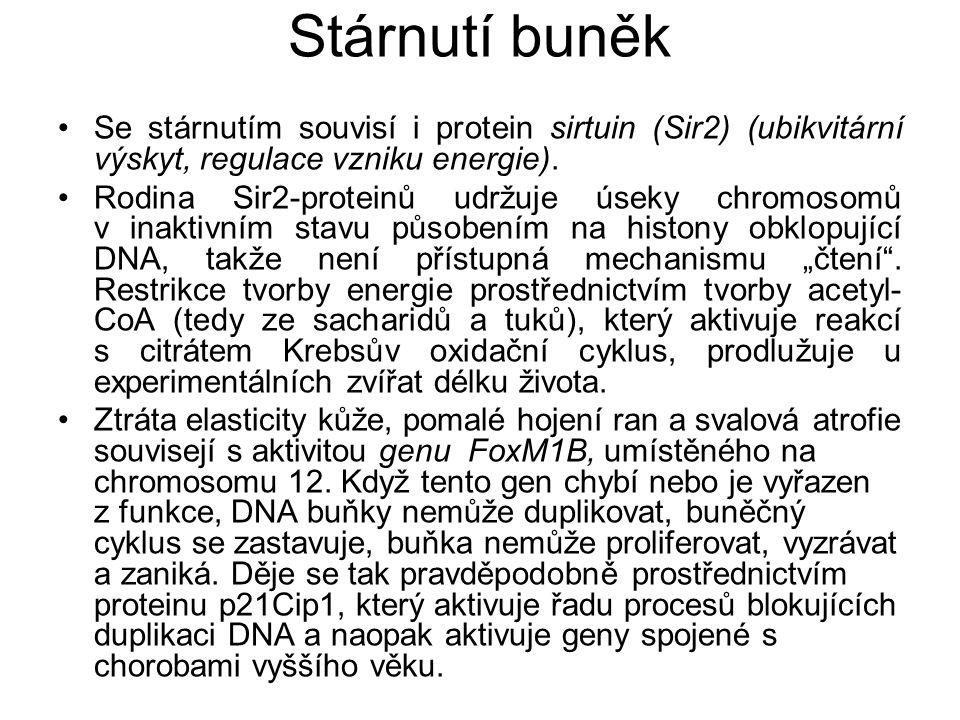Stárnutí buněk Se stárnutím souvisí i protein sirtuin (Sir2) (ubikvitární výskyt, regulace vzniku energie).