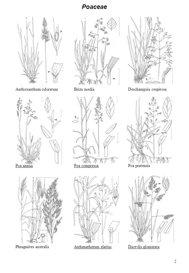 Poaceae Anthoxanthum odoratum Briza media Deschampsia cespitosa