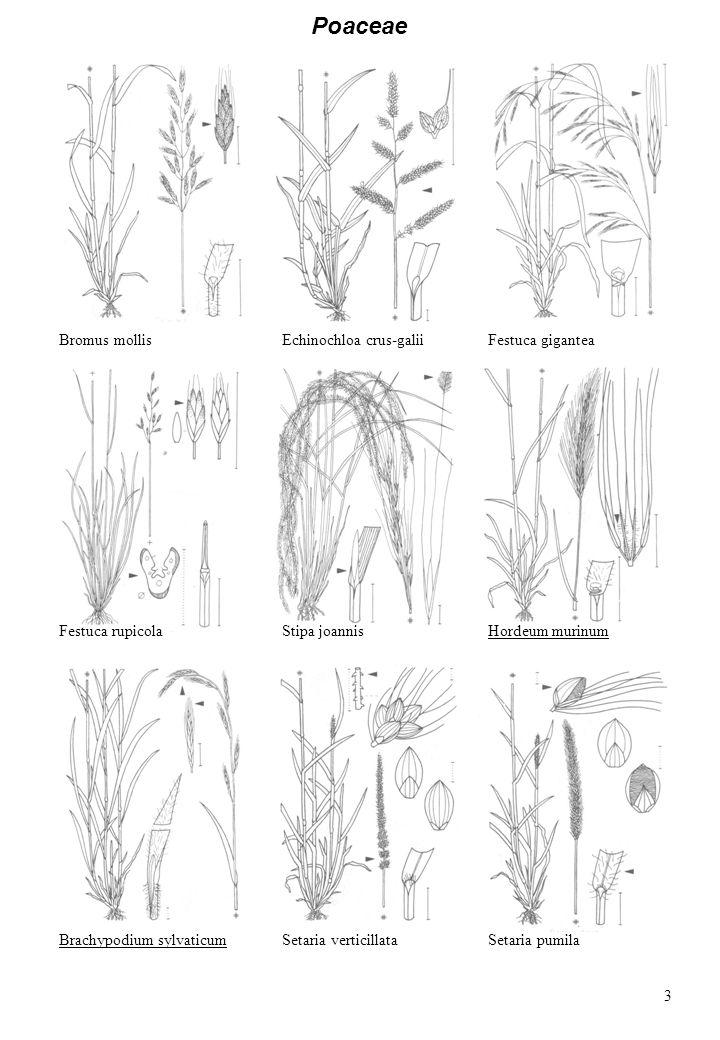 Poaceae Bromus mollis Echinochloa crus-galii Festuca gigantea