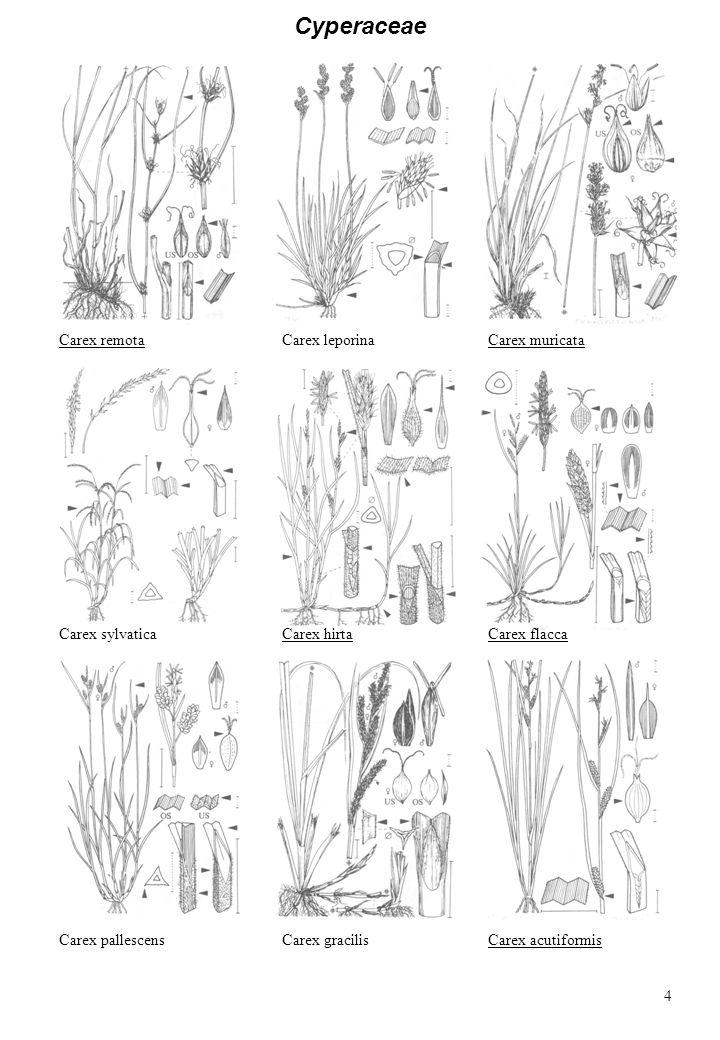 Cyperaceae Carex remota Carex leporina Carex muricata Carex sylvatica