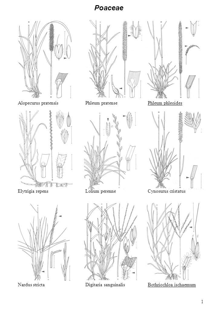 Poaceae Alopecurus pratensis Phleum pratense Phleum phleoides