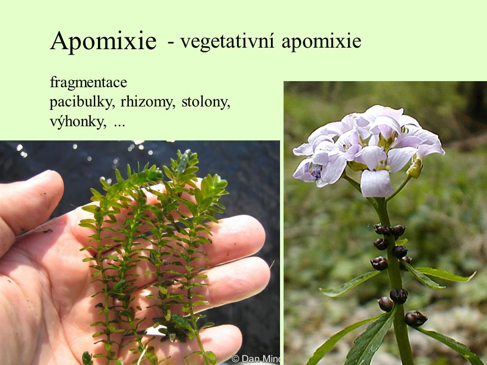 Apomixie - vegetativní apomixie fragmentace