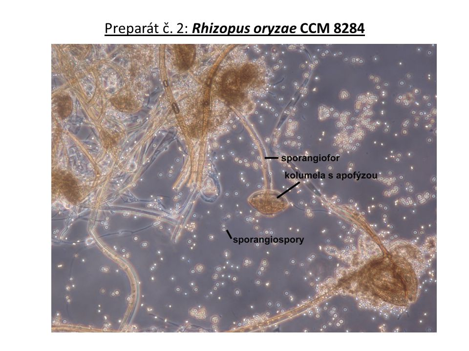Preparát č. 2: Rhizopus oryzae CCM 8284