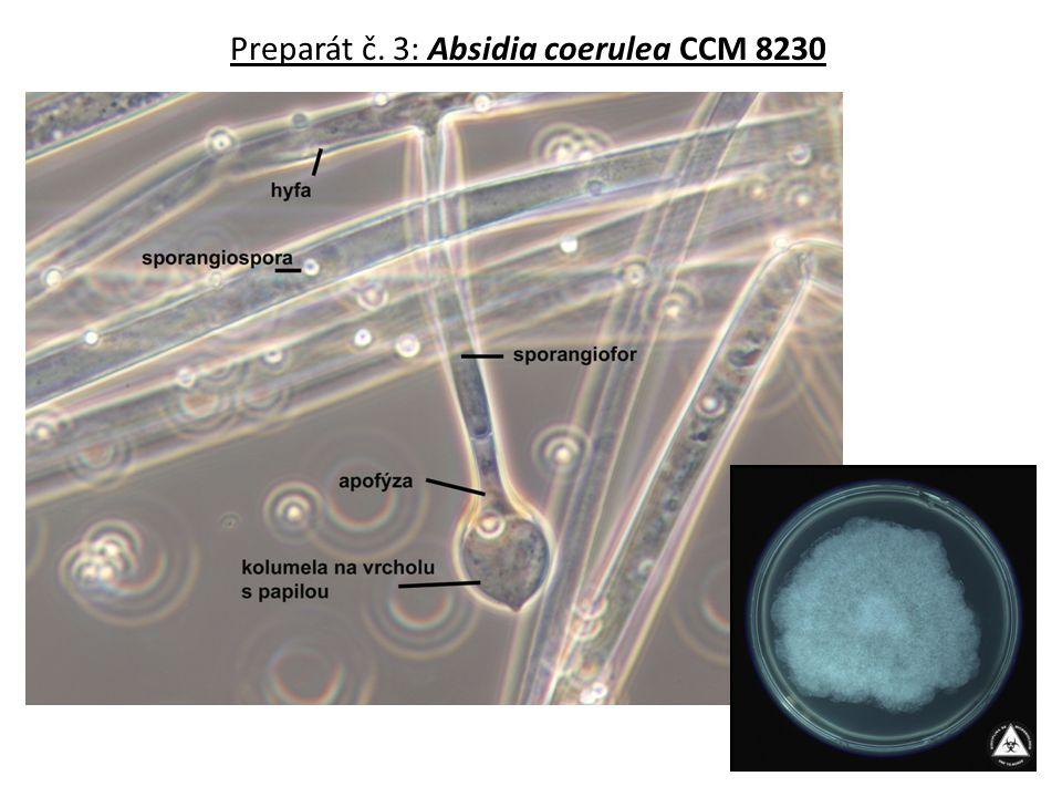 Preparát č. 3: Absidia coerulea CCM 8230