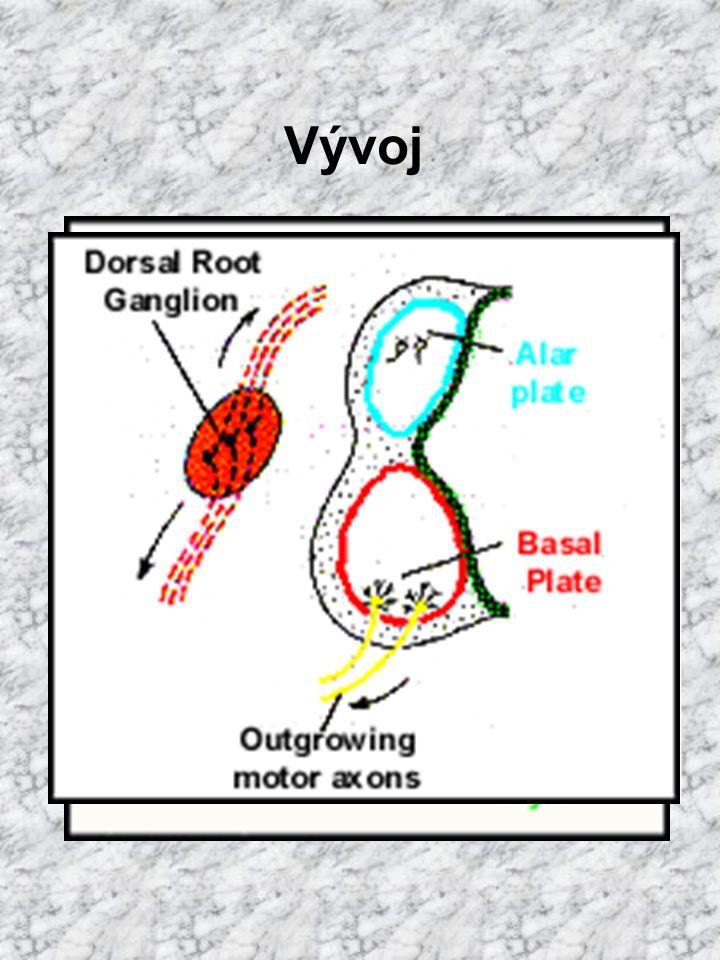 Vývoj mícha alární ploténka senzorická oblast sulcus limitans